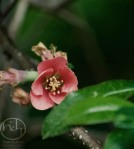 Red Apple Blossom Print