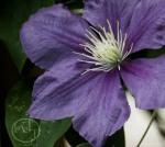 Purple Clematis Print