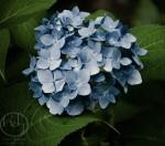 Blue Hydrangea 8515 Print