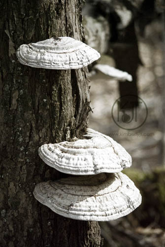Mushrooms on Tree ©2012 Kimberly J Tilley