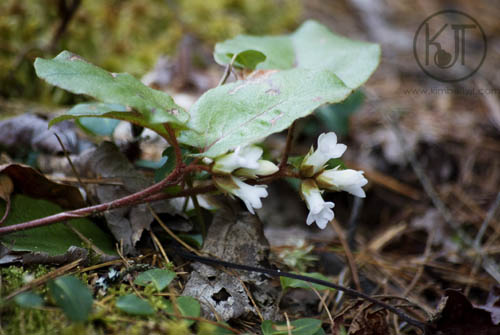 White Bells photograph ©2012 Kimberly J Tilley.