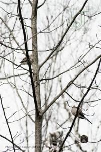 doves winter birds tree