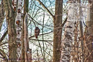hawk tree branch
