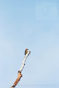 A photograph of a Red-bellied Woodpecker atop a Birch Tree. ©2013 Kimberly J Tilley.