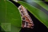 Morpho Butterfly hiding in leaves