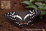 Citrus Swallowtail on dirt