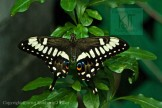 Papilio polyxenes swallowtail butterfly