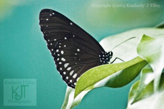 crow butterfly