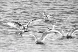 Herring Gulls in the Atlantic Ocean