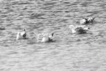 Herring Gulls taking a bath