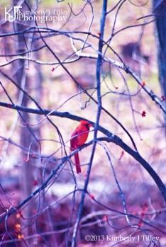 male red cardinal bird