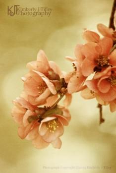 apple blossoms sepia photograph
