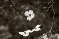 dogwood flowering branch