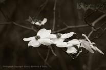 cornus florida, dogwood flowering tree