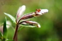 red dwarf spider on flower