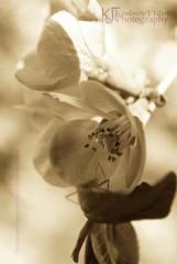 Walking Through Apple Blossoms 2/3