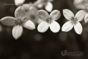 Houstonia caerulea in sepia