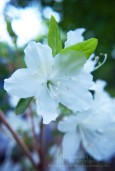 white azalea flower branch