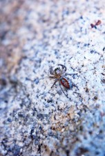 maevia jumping spider