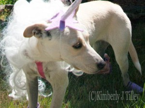 Puppy dressed up as a unicorn. Copyright Kimberly J Tilley.