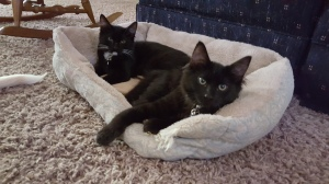 Adopted kittens. Copyright Kimberly J Tilley.