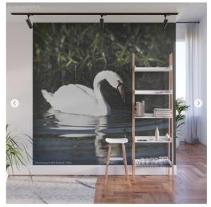 Swan photograph wall mural